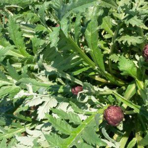 artichauts (2)