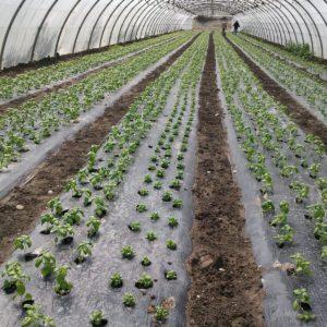 plantation basilic