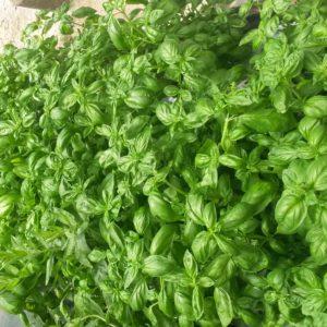 basilic recolte