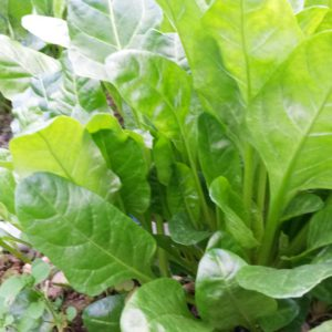 blette_plants (2)