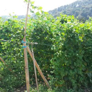 haricot_rame_plantations (1)