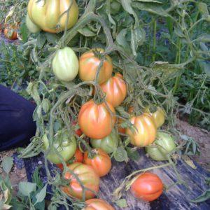 tomate amantino